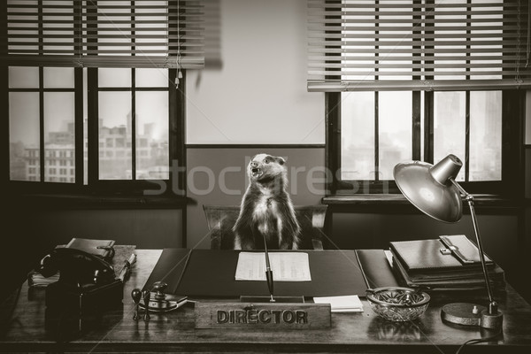 Arrabbiato badger boss seduta desk 1950 Foto d'archivio © stokkete