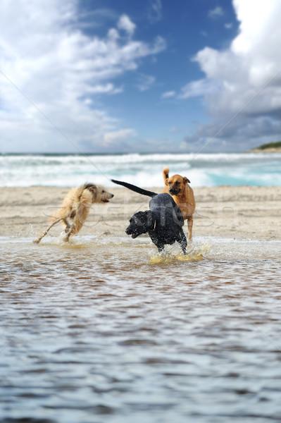 üç köpekler oynama mutlulukla su Stok fotoğraf © stokkete