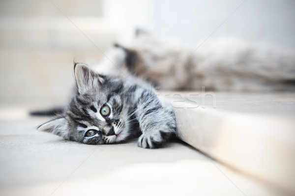 kittens are funny Stock photo © stokkete