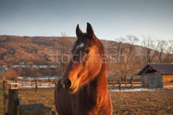 Horse grazing at sunset Stock photo © stokkete