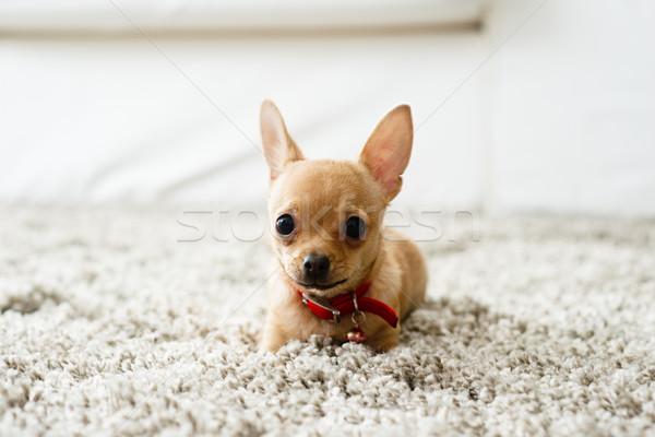Nappali aranyos kutya játszik élet szobák Stock fotó © stokkete