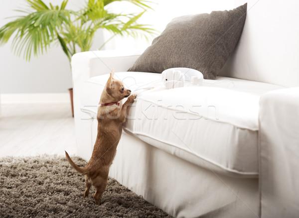 リビングルーム かわいい 犬 立って 演奏 ヘッドホン ストックフォト © stokkete
