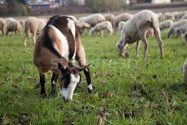 Kecske birka sereg aranyos mező zöld Stock fotó © stokkete