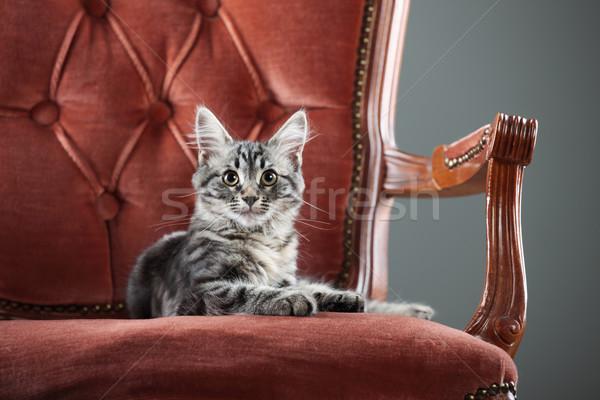 Gatinho relaxante barroco poltrona retrato bonitinho Foto stock © stokkete