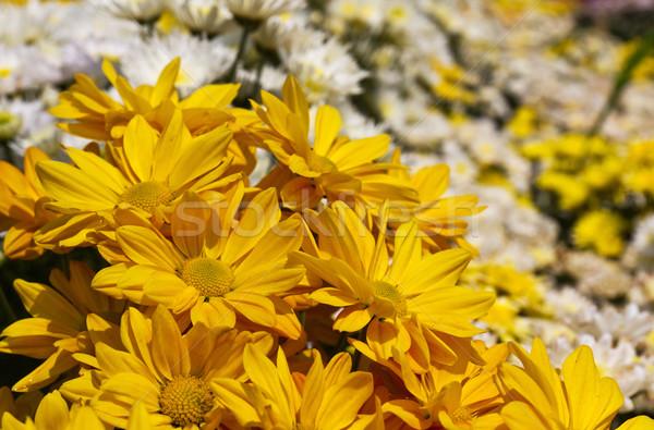 Színes krizantém virágok kert virág szépség Stock fotó © stoonn