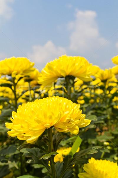 Krizantém virágok színes citromsárga kert virág Stock fotó © stoonn