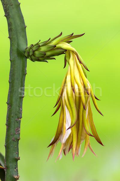 Dragon fruit flower Stock photo © stoonn