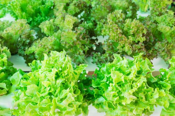 Sałata szklarnia organiczny warzyw ogród wody Zdjęcia stock © stoonn