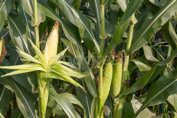 Close up corn on the stalk  Stock photo © stoonn