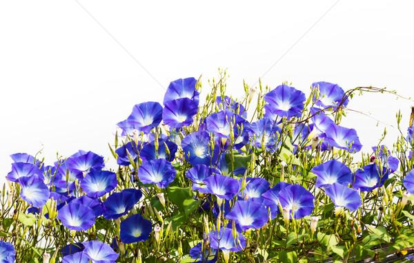 Mavi sabah şan çiçek beyaz çiçekli Stok fotoğraf © stoonn
