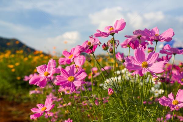 Pink cosmos flower in garden Stock photo © stoonn