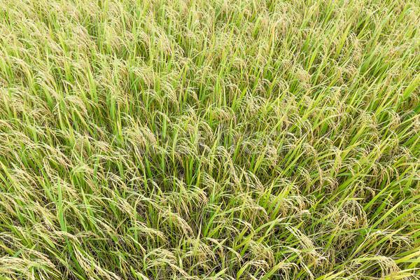 Topo ver arroz campos trópicos Foto stock © stoonn