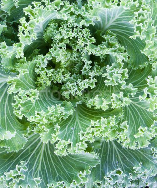 Fresh Cabbage  Stock photo © stoonn