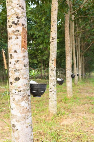 Latex gumi fa ültetvény közelkép Thaiföld Stock fotó © stoonn