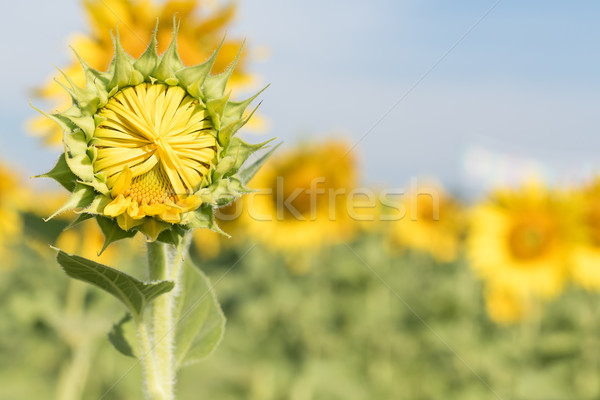 Sunflower growth and blooming in field   Stock photo © stoonn