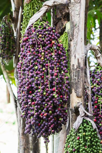 Caryota mitis lour palm  Stock photo © stoonn