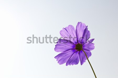 Violet Cosmos flowers  Stock photo © stoonn