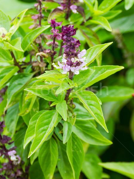 Bazylia kwiaty ogród świeże kwiat roślin Zdjęcia stock © stoonn