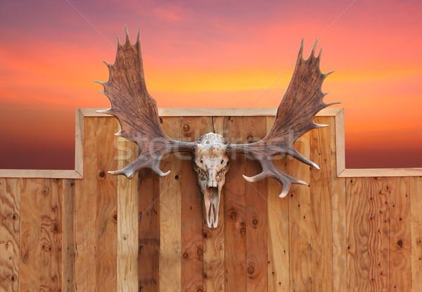 Cranio Moose muro fronte view legno Foto d'archivio © stoonn