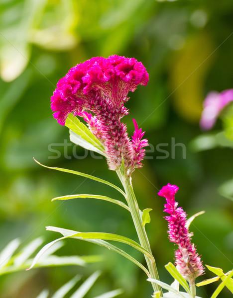 Cockscomb flower Stock photo © stoonn