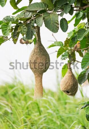 鳥の巣 支店 ツリー 自然 美 鳥 ストックフォト © stoonn