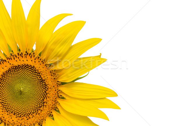 Closeup yellow sunflower isolated on write background Stock photo © stoonn