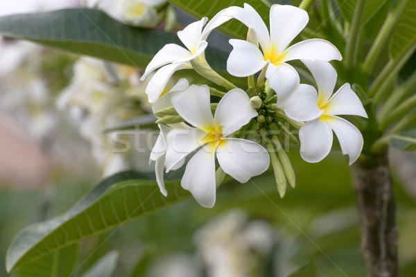 Lan bloem mooie witte bloem Thailand blad Stockfoto © stoonn