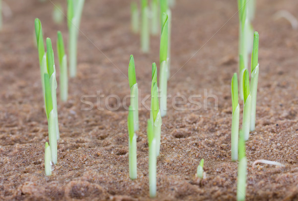 Young sweet corn seedling growing Stock photo © stoonn