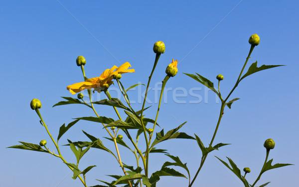 Mexican słonecznika niebo kwiat tekstury krajobraz Zdjęcia stock © stoonn