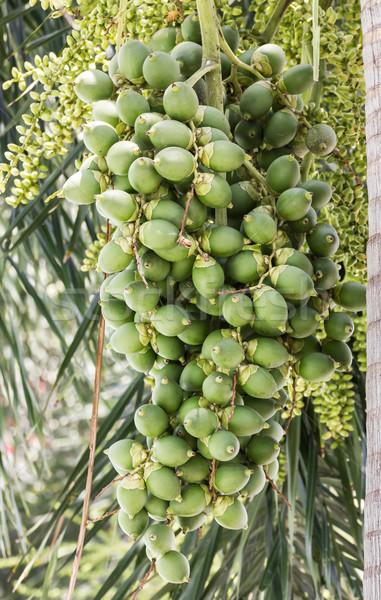 Noz palmeira palma tropical árvore verde Foto stock © stoonn