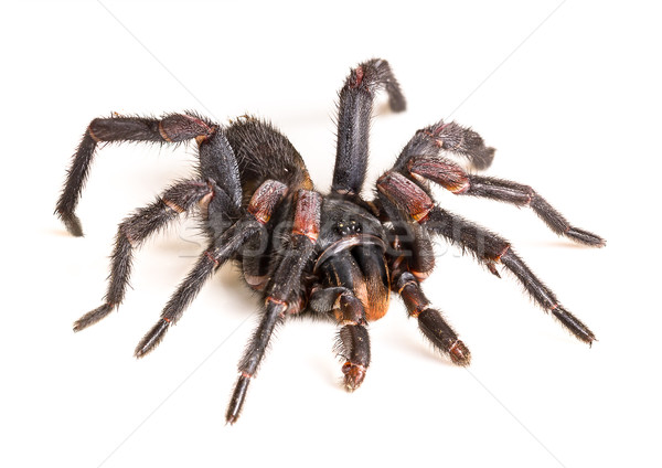 Thai Tarantula (Haplopelma albostriatum) Stock photo © stoonn