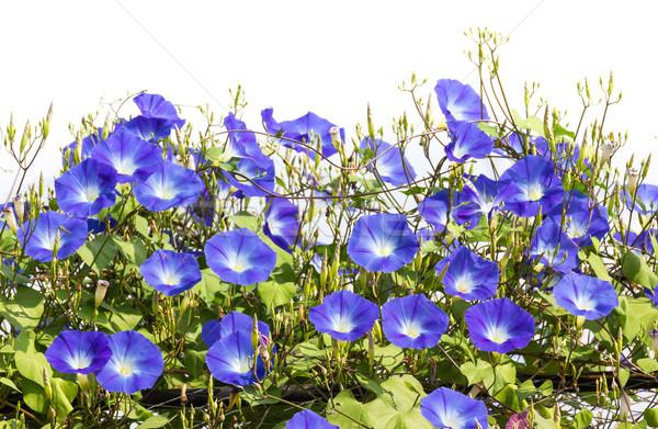 Mavi sabah şan çiçek doğa çiçekli Stok fotoğraf © stoonn