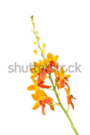 Turuncu orkide çiçek beyaz güzel bahar Stok fotoğraf © stoonn