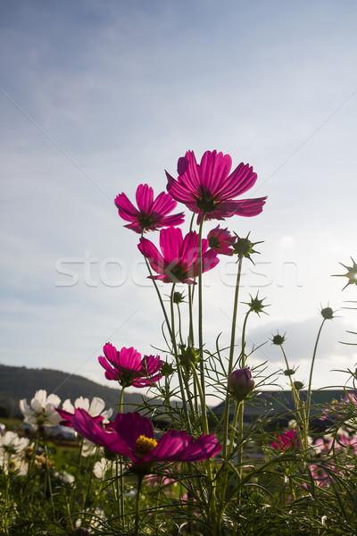 Pembe çiçek aile gökyüzü çim Stok fotoğraf © stoonn