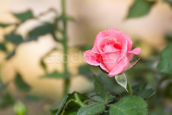 Pink rose flower  Stock photo © stoonn