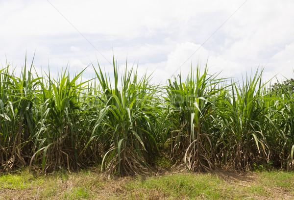 Zuckerrohr Felder Kultur tropischen Thailand Himmel Stock foto © stoonn