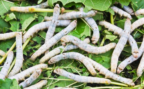 Silk worm eating mulberry leaf Stock photo © stoonn