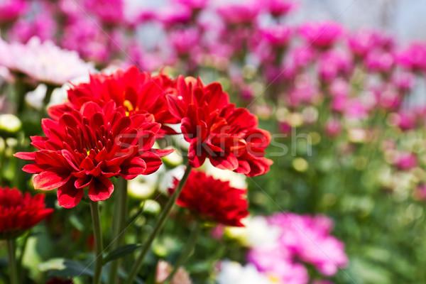 Kolorowy czerwony chryzantema kwiaty ogród kwiat Zdjęcia stock © stoonn