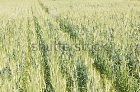 緑 大麦 成長 フィールド 画像 ストックフォト © stoonn