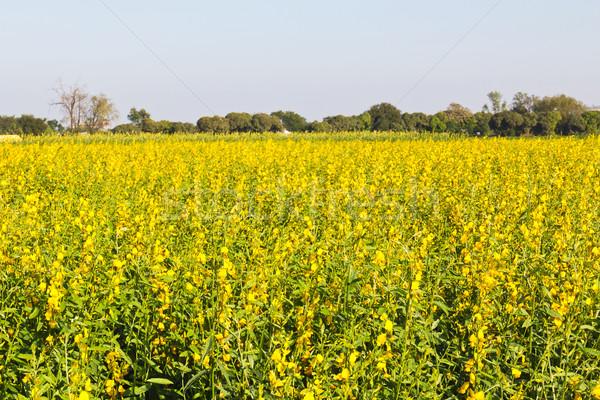 Spring rape seed flower Stock photo © stoonn