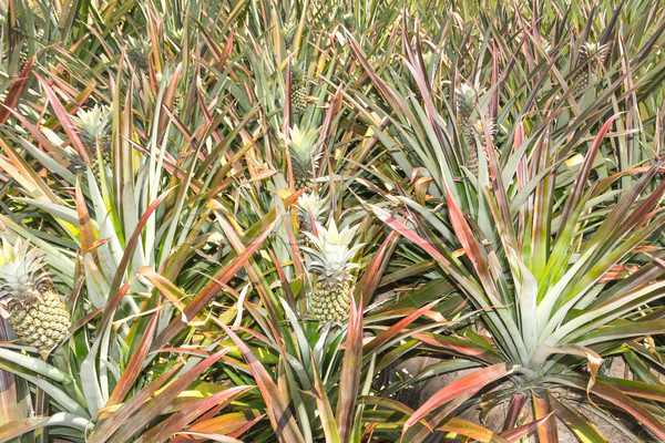 Pineapple plantation Stock photo © stoonn