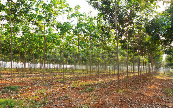 Rubber tree field  Stock photo © stoonn