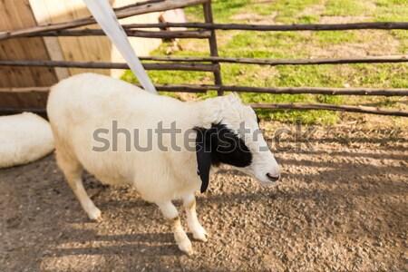 Sheep  in the farm Stock photo © stoonn