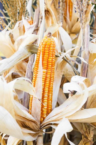 Yellow dried corn  Stock photo © stoonn