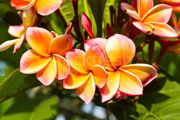 Foto stock: Lan · flor · belo · laranja · Tailândia · flores