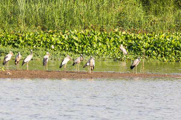 Stock photo: Flock of Asian Openbill in marsh
