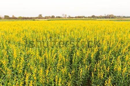 yellow flowers blooming  Stock photo © stoonn