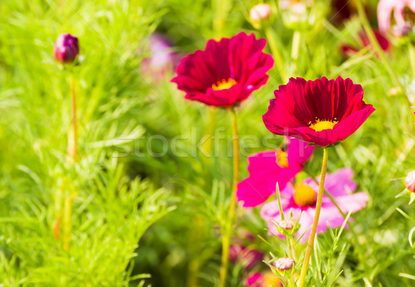 Red cosmos flowers Stock photo © stoonn