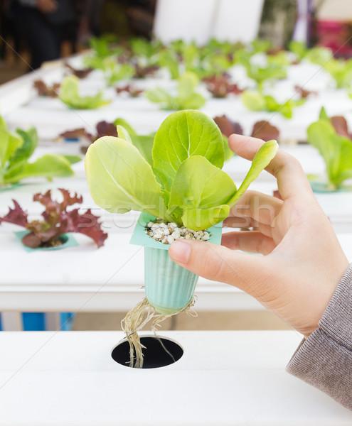 Organic hydroponic vegetable on hand Stock photo © stoonn