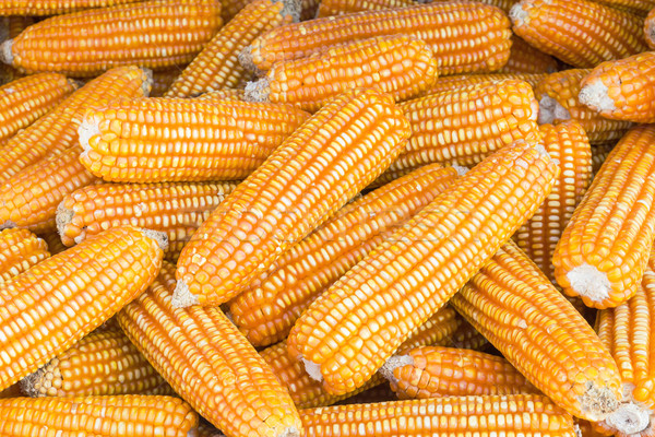 Yellow dried corns  Stock photo © stoonn